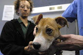 A dog having treatment at a mobile veterinary clinic run by the Victoria Animal Hospital in Hackney, East London. The clinic helps those on low income as the treatment is provided for free or for a sm... - Rogan Macdonald - 17-01-2007