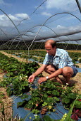 Scientist examining strawberries that he has cultivated at the Horticultural Research Institute in East Malling in Kent - Stefano Cagnoni - 17-07-2002