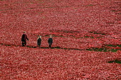 Armistice Day on the 100th Anniversary of the year in which the First World War began. Two children walk with their mother in the Tower of London moat between the 888,246 ceramic poppies, the complete... - Stefano Cagnoni - 11-11-2014