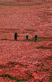 Armistice Day on the 100th Anniversary of the year in which the First World War began. Two children walk with their mother in the Tower of London moat between the 888,246 ceramic poppies, the complete... - Stefano Cagnoni - WW2,1st,2010s,2014,ACE,adult,adults,Anniversary,Armistice,art,artwork,artworks,Blood Swept Lands and Seas of Red,boy,BOYS,by,castle,child,CHILDHOOD,children,cities,city,COLOR,colorful,colorfull,colors