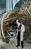 Restoration of whale skeletons at the British Museum of Natural History - Higher Scientific Officer, John Phillips examines the skeleton for signs of metal erosion - Stefano Cagnoni - 13-03-1995