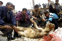 Iranian kurds slaughtering a cow during a marriage ceremony of Pir-e-Shahyar, Uraman Takht village, Uramanat, South Eastern Marivan, Iran - Siavash Habibollahi - 03-02-2005