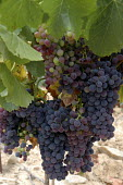 Bunches of black ripe grapes in a vineyard in L Herault, France - Janina Struk - 02-09-2007