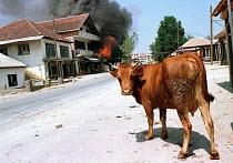 Cow in Malishevo village following clashes between Yugoslav army and KLA. Malishevo, Kosovo. 1998 - Andrija Ilic - 1990s,1998,animal,animals,Balkan,balkans,cattle,conflict,conflicts,cow,cows,domesticated ungulate,domesticated ungulates,europe,kosovo,livestock,serb,SERBIA,Serbian,Serbians,Serbs,UCW,ungulate,village
