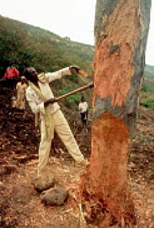 Rwandan Hutu refugee collects firewood near Bukavu, Zaire - Congo 1994 - Howard Davies - 03-05-1994