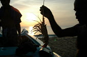 Fishermen on Navaladi beach collect lobsters which they caught during the night before. Batticaloa, Sri Lanka 2005 - Howard Davies - 05-03-2005