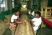 Coffee beans being processed before being exported at coffee factory, Blue Mountains, Jamaica 1998 - Howard Davies - 03-08-1998