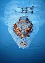 Alligator in Black River, Jamaica. 1998 - Howard Davies - 03-08-1998