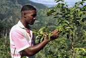 Coffee farmer checking coffee beans growing on bush, Blue Mountains, Jamaica 1997 - Howard Davies - 03-08-1997