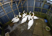 Swans recovering having been cleaned by the RSPCA after they had been found with oil soaked feathers. The oil is believed to have come from the Ice Prince which sank in the Channel - Howard Davies - 25-01-2008