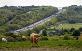 Brighton bypass which goes through the Sussex countryside, UK - Howard Davies - 2000s,2009,agricultural,agriculture,animal,animals,AUTO,AUTOMOBILE,AUTOMOBILES,AUTOMOTIVE,bull,bullock,bullocks,bulls,capitalism,capitalist,car,cars,cattle,country,countryside,cow,cows,degradation,dom