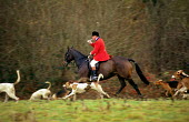 Fox hunt while hunt saboteurs protest against fox hunting, Sussex. 1997 - Howard Davies - 01-08-1997