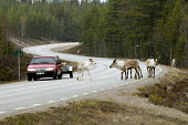 A car avoids reindeer on a remote road in northern Sweden. 2006 - Howard Davies - ,2000s,2006,animal,animals,country,countryside,eni environmental issues,eu,europe,european,europeans,farm,farm worker,farm workers,farmed,FARMER,farmers,farming,farmworker,farmworkers,herd,highway,lan