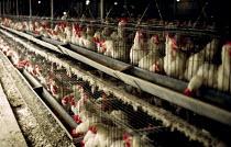 Battery hen farm, Gaza. 1993 - Howard Davies - 01-07-1993