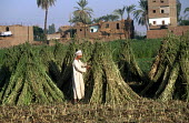 Farmers working in their fields, on the west side of the River Nile. - Howard Davies - 14-10-2005
