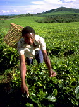Picking tea leaves from commercial estates near Fort Portal. Uganda. 1998 - Jim Holmes - 03-07-1998