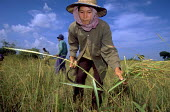 Rice seedlings being harvested. Laos. 2000 - Jim Holmes - 2000,2000s,agricultural,agriculture,Asia,asian,asians,by hand,capitalism,capitalist,crop,crops,EBF,EBF economy,Economic,Economy,farm,Farm Worker,farm workers,farmed,farmer,farmers,farmhand,farmhands,f