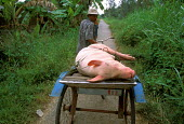 A pigs travelling to market on the back of many vehicles. They grow quickly and are a large part of many family incomes, near Long Xuyen. Vietnam 2001 - Jim Holmes - 03-07-2001