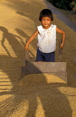 A Vietnamese child helps clear drying rice from a road. Paddy rice is set out to dry on the sides of all sealed roads in the Mekong Delta. Vietnam 2001 - Jim Holmes - 03-07-2001