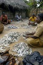 Women's cooperative sorting fish on the peninsula of Mannar, Sri Lanka. - Tom Parker - 07-07-2005