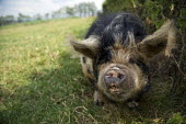 A male Kunekune pig boar, a small breed of domestic pig from New Zealand. Court Farm, Tilington, Herefordshire - Timm Sonnenschein - 03-07-2011