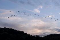 A wild geese flying after sunset, lake Baldeney, Essen, Germany. - Timm Sonnenschein - 2010s,2012,animal,animals,bird,birds,eu,Europe,european,europeans,eurozone,flight,flights,flock,flocking,flocks,fly,flying,geese,german,germans,goose,migration,SUN,sunset,SUNSETS