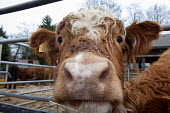 Highland cattle, Animal farm, Graves Park, Sheffield. - Timm Sonnenschein - 16-03-2013