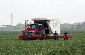 Lincolnshire Field Products migrant workers harvesting cauliflower, Spalding - Timm Sonnenschein - 2010s,2014,agricultural,agriculture,capitalism,capitalist,Cauliflower,Cauliflowers,crop,crops,Diaspora,eastern,EBF,Economic,Economy,employee,employees,Employment,employment agencies,employment agency,