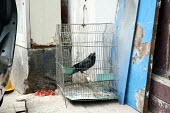 A captive blackbird in a cage kept by a doorway behind a motor scooter, Zhu Jiao Jiao, China - Timm Sonnenschein - 11-04-2014