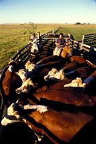 Gauchos Round up Cattle into a Pen on an Estancia in Uruguay. - Paul Mattsson - 26-12-1986