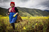 A Bai woman farmworker tending her rapeseed crop by hand. Shangri-La, Yunnan Province, China. - Connor Matheson - Chinese SUBSISTENCE,2010s,2015,agricultural,agriculture,Bai,BAME,BAMEs,BME,bmes,by hand,capitalism,capitalist,china,crop,crops,diversity,EARNINGS,EBF,Economic,Economy,employee,employees,Employment,EQU