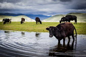 Cattle fording water to get back to their farm, Shangri-La, Yunnan Province, China. - Connor Matheson - Chinese,2010s,2015,agricultural,agriculture,animal,animals,bullock,bullocks,capitalism,capitalist,cattle,china,country,countryside,dirty,domesticated,Domesticated Ungulate,EBF,Economic,Economy,farm,fa