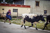 An elderly Bai woman herding her livestock back to the farm, Shangri-La, Yunnan Province, China. - Connor Matheson - 24-09-2015