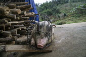 A pig in a cage, farming in the Sapa mountains, Vietnam - David Bacon - 2010s,2015,agricultural,agriculture,animal,Animal Welfare,animals,Asia,asian,asians,asiaregi,cage,capitalism,capitalist,cultivation,Domesticated Ungulate,domesticated ungulates,EBF,Economic,Economy,et