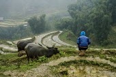 Farmer with buffalo on the rice terraces in the rain, Sapa mountains, Vietnam - David Bacon - SUBSISTENCE,2010s,2015,agricultural,agriculture,animal,animals,Asia,asian,asians,asiaregi,BAME,BAMEs,BME,bmes,buffalo,buffalos,capitalism,capitalist,cattle,cultivation,diversity,Domesticated Ungulate,