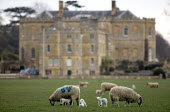 Sheep and lambs grazing on an estate, Warwickshire - John Harris - 2010s,2016,AFFLUENCE,AFFLUENT,agricultural,agriculture,animal,animals,Bourgeoisie,capitalism,capitalist,country,countryside,domesticated ungulate,domesticated ungulates,EBF,Economic,Economy,elite,elit