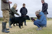 Little and large, miniature dachshund puppy meeting a Newfoundland puppy, walking on Greenham Common, Berkshire - John Harris - 19-03-2016