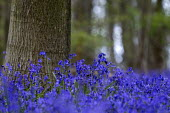 Bluebells Oversley Wood Warwickshire - John Harris - 02-05-2016