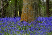 Bluebells Oversley Wood Warwickshire - John Harris - 2010s,2016,Bluebells,country,countryside,ENI,environment,Environmental Issues,estate,estates,flower,flowering,flowers,forest,forestry,Forestry Commission,nature,outdoors,outside,plantation,plantations