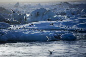 Jokulsarlon Glacier Lagoon, Nr. Vatnajokull National Park, Iceland - Jess Hurd - 2010s,2016,animal,animals,bird,birds,Climate Change,cold,conditions,country,countryside,ENI,environment,Environmental degradation,Environmental Issues,eu,Europe,european,europeans,freezing,frozen,glac