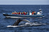 Humpback whale watching with North Sailing, Skjalfandi bay, Iceland Sea, Husavik, North Iceland. RIB Amma Kibba - Jess Hurd - 08-05-2016