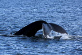 Humpback whale watching with North Sailing, Skjalfandi bay, Iceland Sea, Husavik, North Iceland - Jess Hurd - 08-05-2016