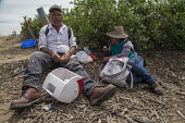 California USA Farmworkers eating lunch in the blueberry fields. Klein Management Company. Workers are indigenous Mixtec and Zapotec migrants from Oaxaca, Mexico - David Bacon - American,2010s,2016,adult,adults,age,ageing population,Agency Workers,agricultural,agriculture,America,American,americans,Amerindian,Amerindians,BAME,BAMEs,blueberries,blueberry,BME,bmes,Break,break t