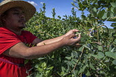 California USA Farmworkers picking blueberries, Klein Management Company. Workers are indigenous Mixtec and Zapotec migrants from Oaxaca, Mexico - David Bacon - 21-05-2016