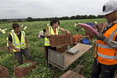 Romanian and Bulgarian migrant workers harvesting broad beans, Warwickshire - John Harris - 2010s,2016,agricultural,agriculture,beans,bulgarian,bulgarians,by hand,capitalism,capitalist,casual workers,crop,crops,Diaspora,EARNINGS,eastern European,eastern Europeans,EBF,Economic,Economy,employe