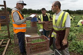 Romanian and Bulgarian migrant workers harvesting broad beans, Warwickshire - John Harris - 2010s,2016,agricultural,agriculture,beans,bulgarian,bulgarians,by hand,capitalism,capitalist,casual workers,clipboard,crop,crops,Diaspora,EARNINGS,eastern European,eastern Europeans,EBF,Economic,Econo