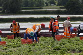 Migrant workers picking lettuce, Warwickshire - John Harris - 05-07-2016