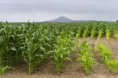 Maize growing in a field, The Wrekin, Shropshire - John Harris - 24-07-2016