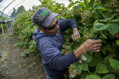 Burlington, Washington, A worker prunes blackberry vines to allow more light to get to the fruit, and to allow pickers to move down the rows more easily, Sakuma Brothers Farms - David Bacon - 10-07-2016