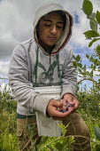 Burlington, Washington, worker picking blueberries on Sunday - David Bacon - 2010s,2016,agricultural,agriculture,Amerindian,Amerindians,BAME,BAMEs,BEMM,BEMMs,berry,blueberries,blueberry,BME,bmes,bucket,by hand,capitalism,casual workers,crop,crops,cultivate work,Diaspora,divers